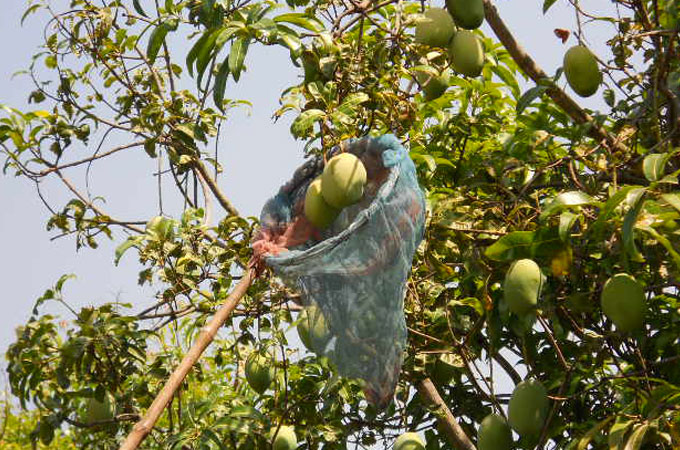 Mango cultivation