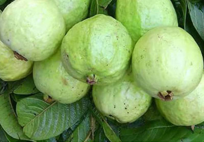 Guava – Varieties in India, Production, Seasons, and Economic Importance.